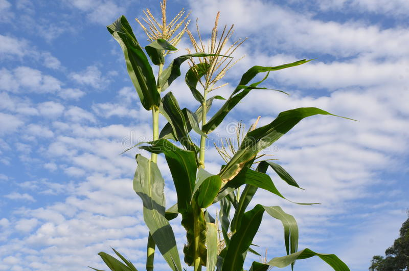 Corn and sky stock image