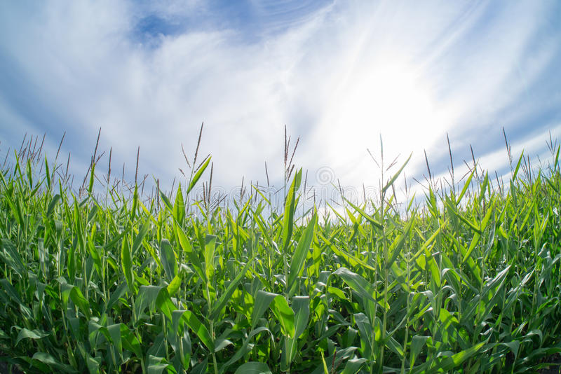 Corn and Sky. Fresh, green corn against a beautiful blue and white clouded skyline stock image