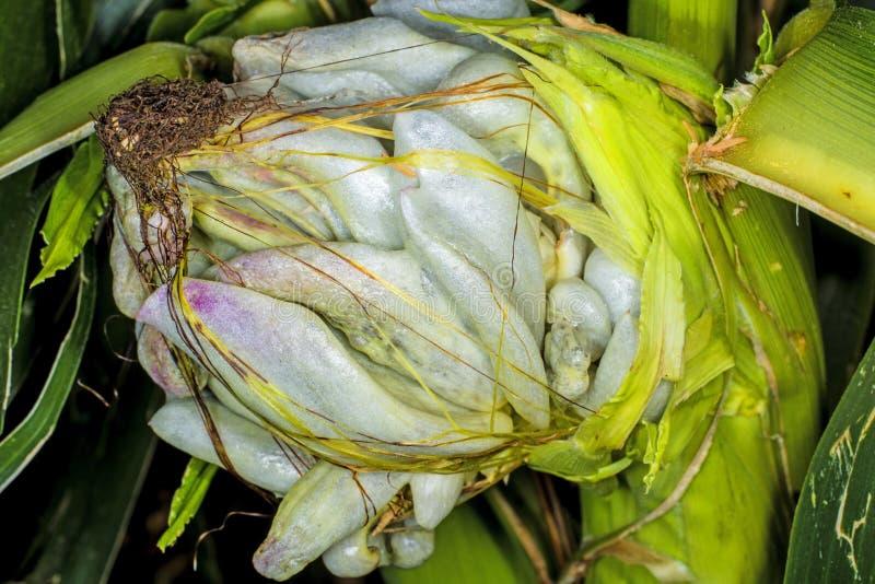 Corn smut, Ustilago maydis stock photo