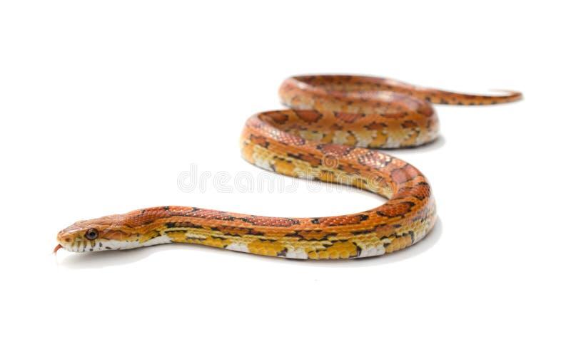 Download Corn snake stock image. Image of background, maize, orange - 25819959