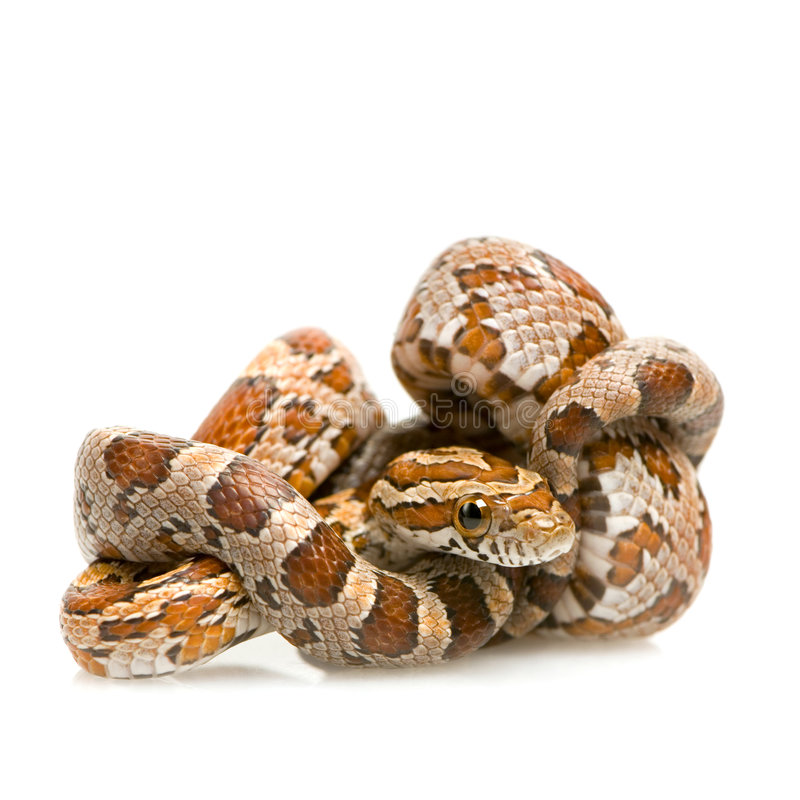 Corn Snake. In front of a white background stock image