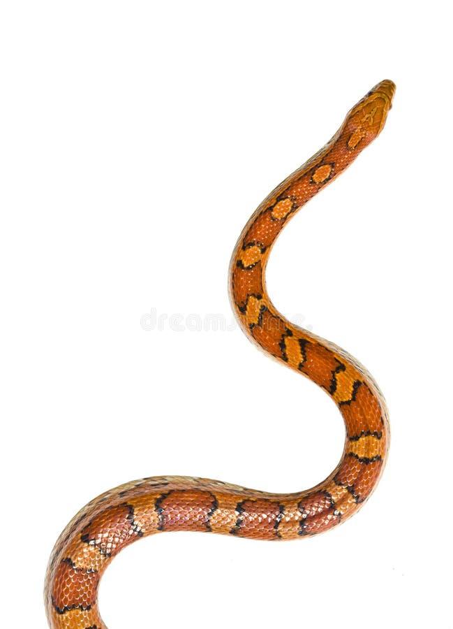 Corn Snake Isolated Stock Photography