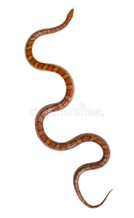 Download Corn snake isolated stock image. Image of snakeskin, coldblooded - 25844927