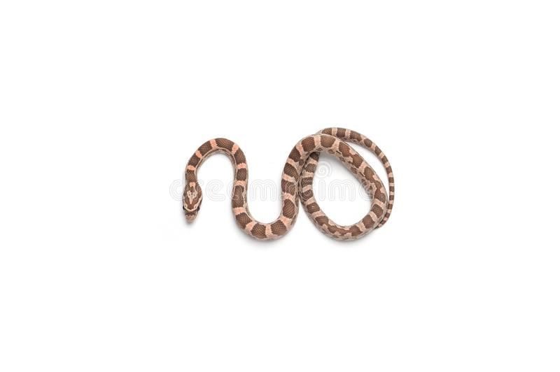 Corn snake isolated on white royalty free stock photography
