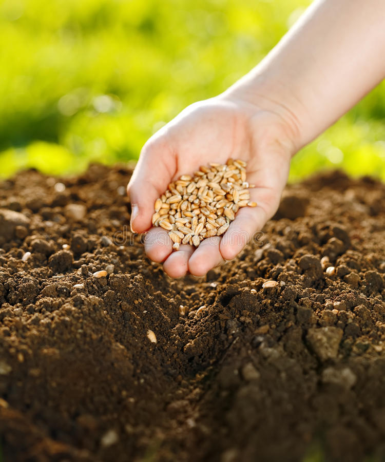 Download Corn sowing by hand stock image. Image of fertile, detail - 15835597