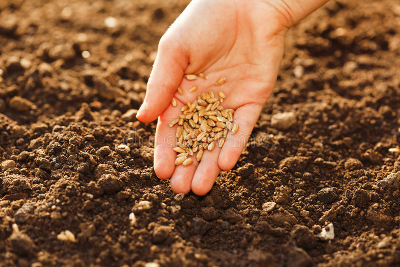 Corn sowing by hand. In home garden royalty free stock image
