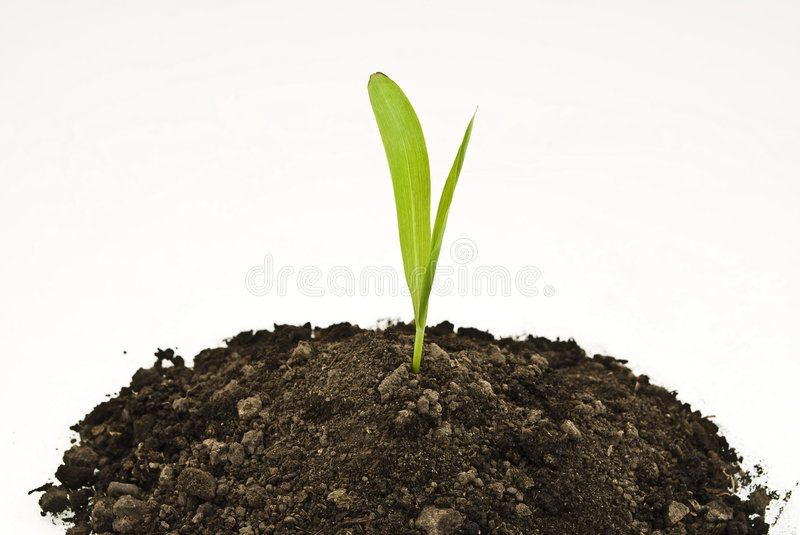 Corn sprout in soil royalty free stock photography
