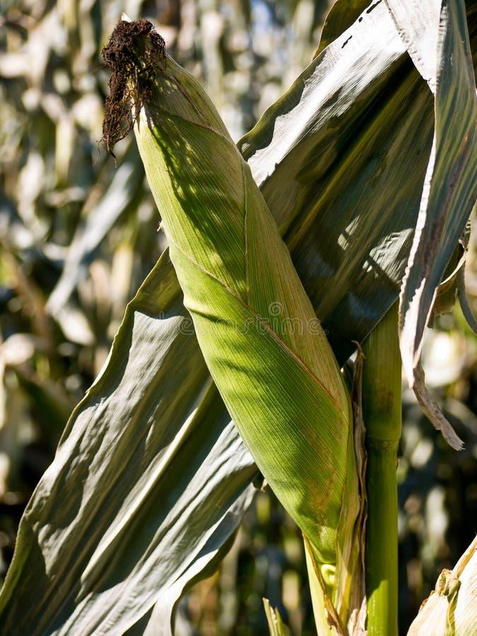 Download Corn on stalk stock photo. Image of corn, rural, harvest - 21497452
