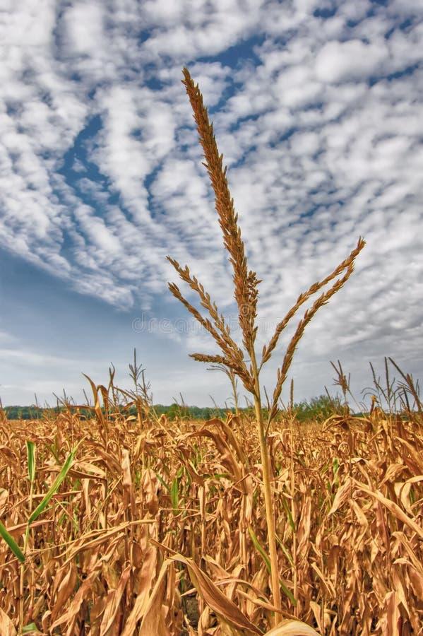 Download Corn-stalk stock image. Image of land, health, arable - 27031591