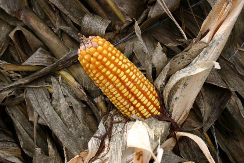Corn Stalk stock photo