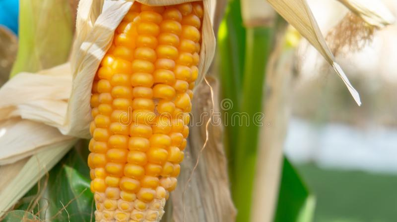 Corn on a stalk closeup royalty free stock images