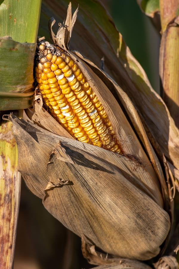 A corn stalk with a corn husk with an ear of corn stock photo