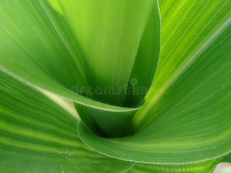 Corn Stalk With Spider Stock Photo