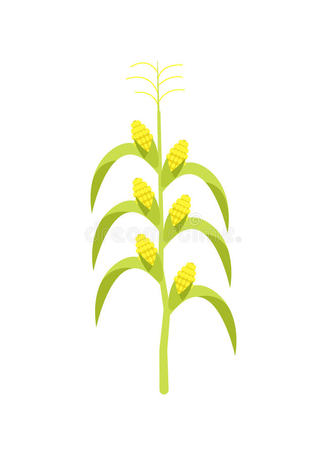Corn on stalk vector icon stock illustration