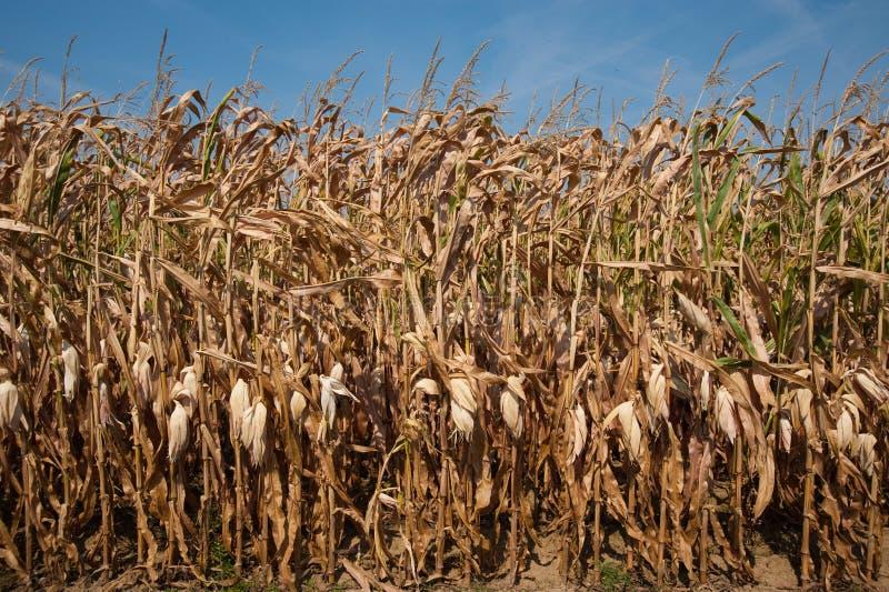 Download Corn Stalks Stock Photo - Image: 11900740