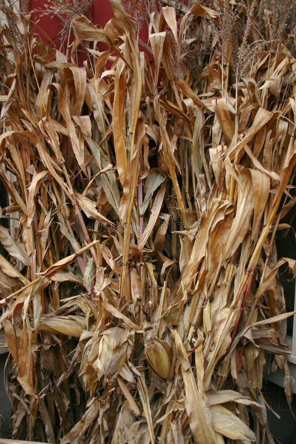 Corn Stalks Stock Photos