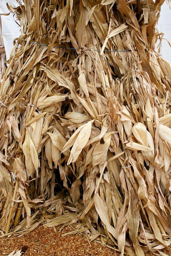 Corn Stalks 5735 stock photo