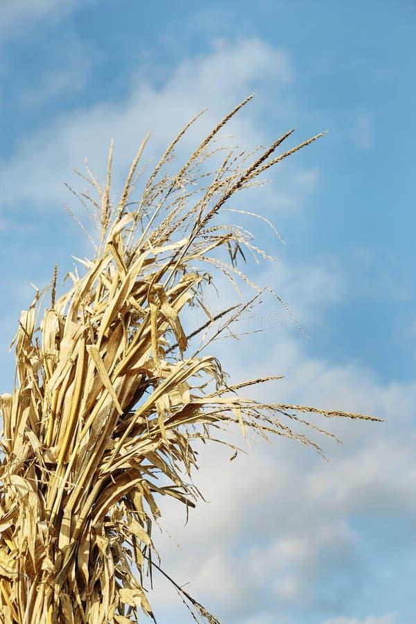 Corn Stalks-2019_06 royalty-vrije stock foto's