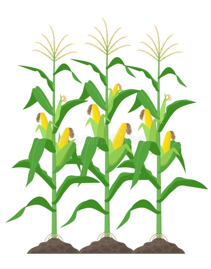 Corn stalks isolated on white background. Green corn plants on the field vector illustration in flat design. stock illustration