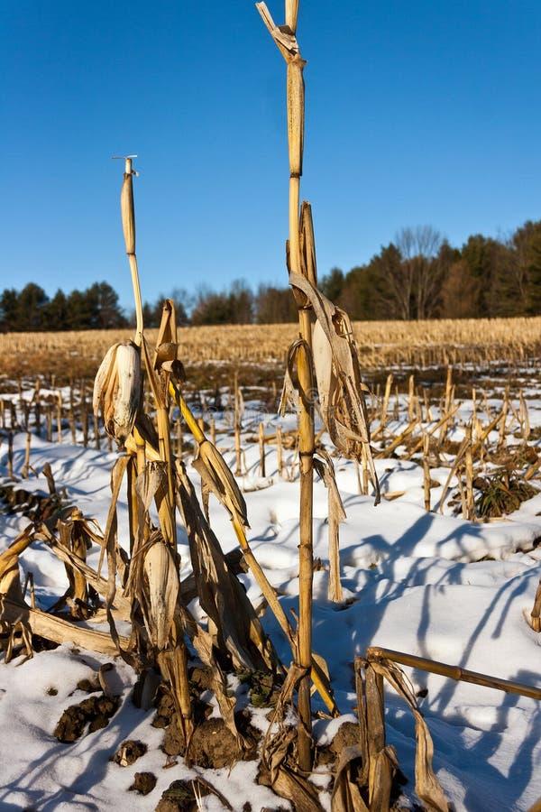 Free Corn Stalks Left After Harvest Stock Image - 28648281