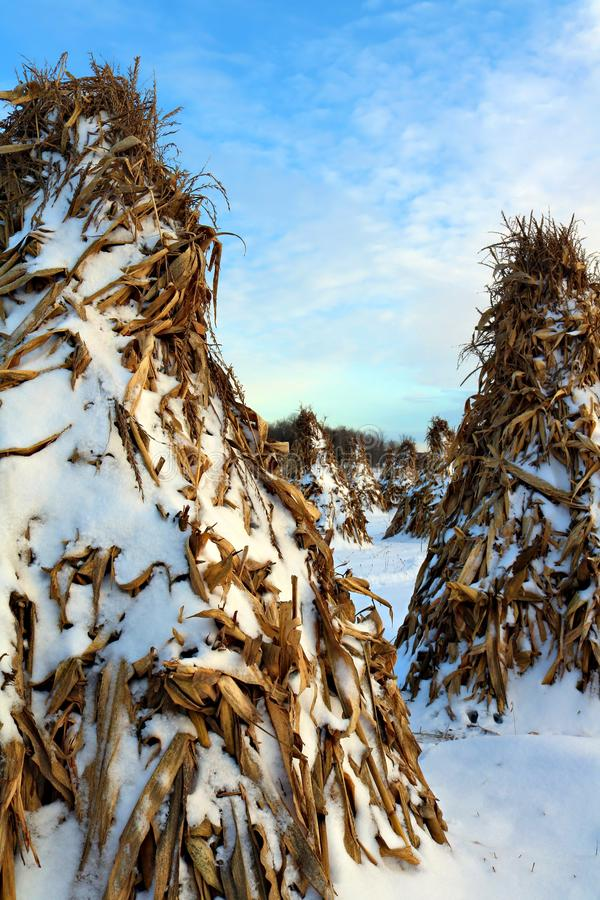 Corn standing in teepee shape drying out over the winter at sunset with fresh snow stock image
