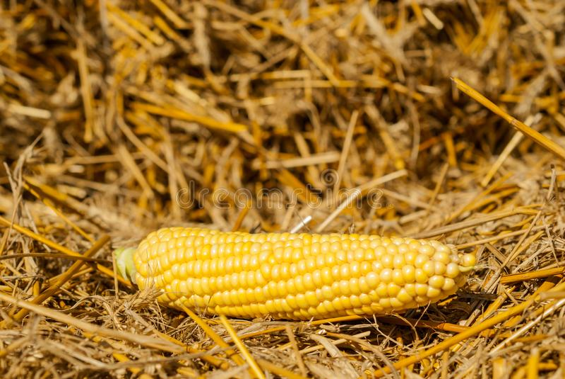 Corn on the straw, harvest season stock photo