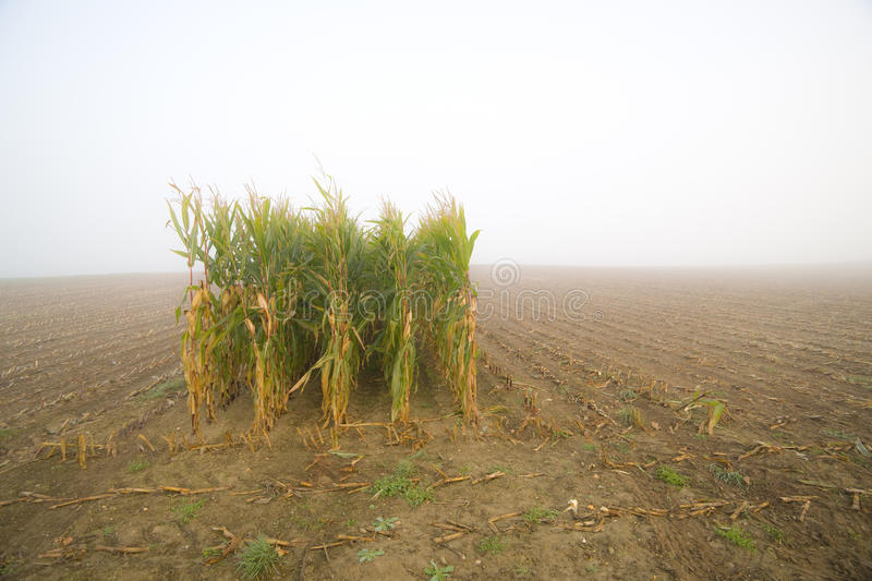 Download Corn Stubble Field On A Misty Morning Stock Image - Image of harvesting, agriculture: 21379339