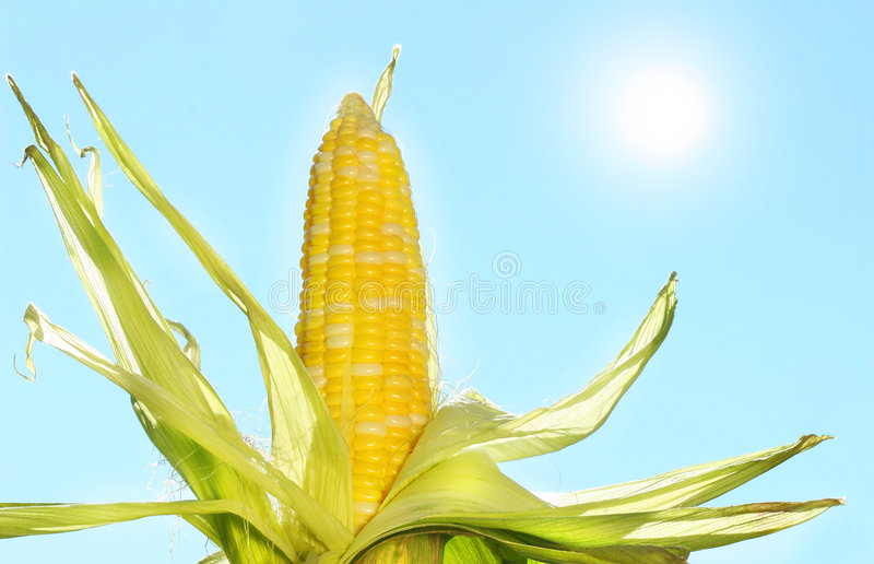 Corn in the sun stock photography