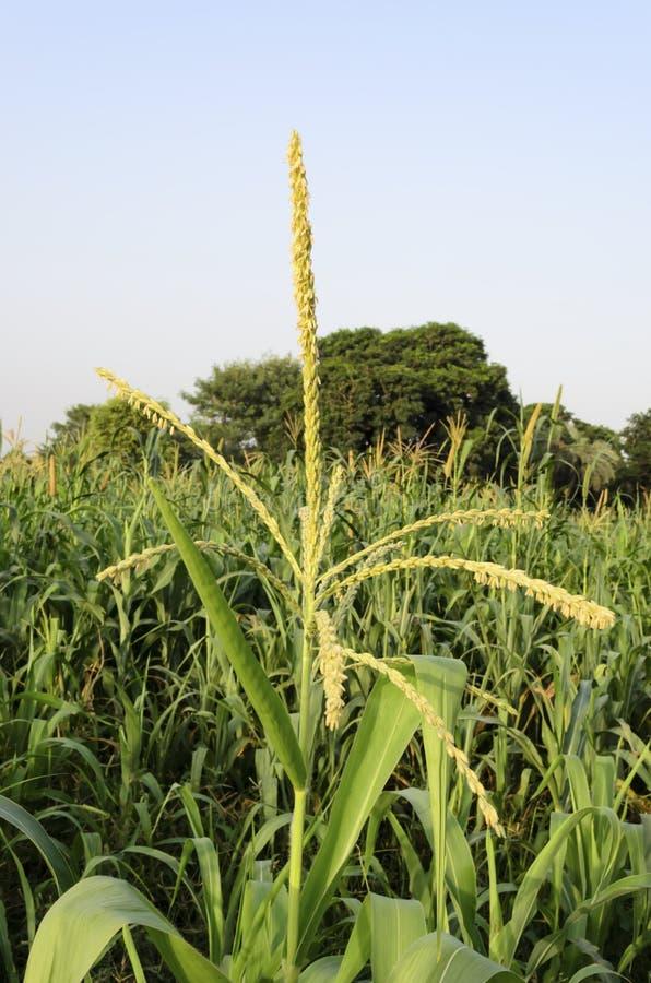 Corn tassel in corn field stock images