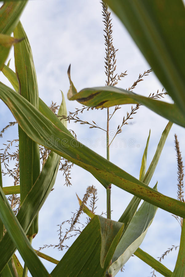 Corn Tassels royalty free stock photo