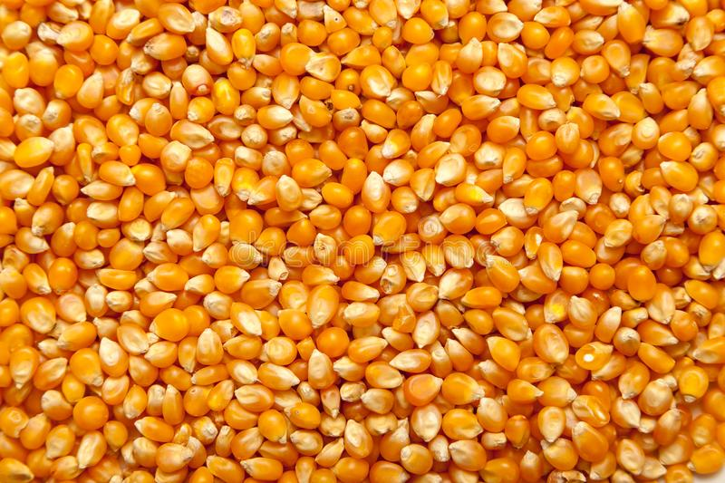 Corn texture as background. Corn texture as a colorful background royalty free stock photos