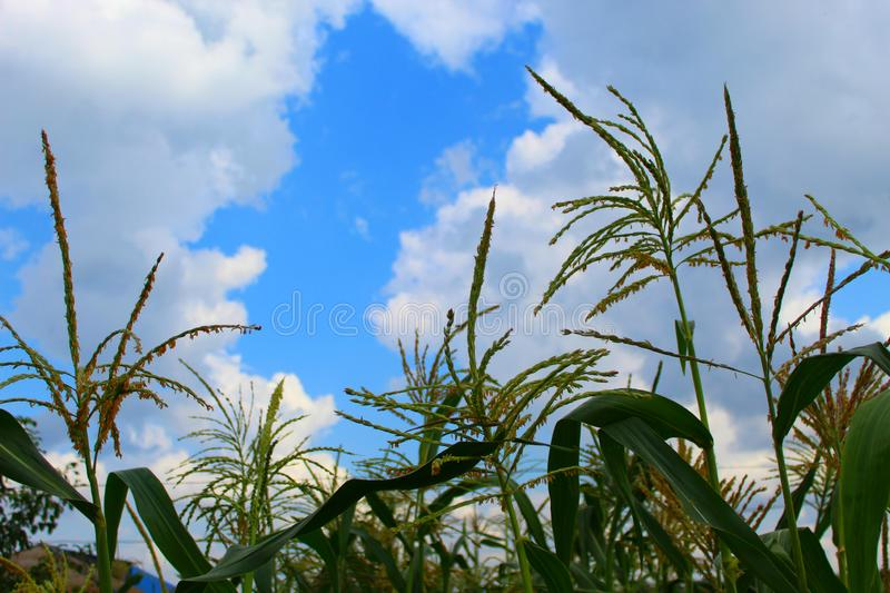 Corn tree against a blue cloudy sky, field on a clear day royalty free stock photography