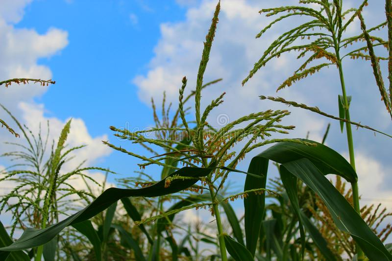Corn tree against a blue cloudy sky, field on a clear day stock images