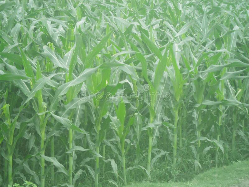 Green tree, Corn tree, Green tree Background, Natural scenery. Corn tree with leafs and Green tree Background royalty free stock images