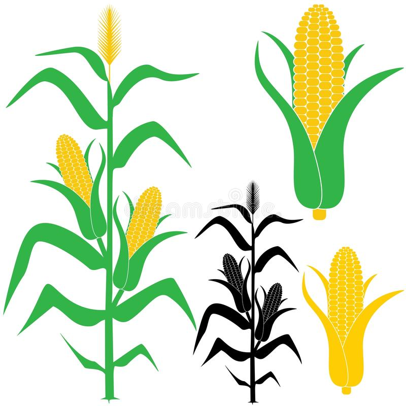 Corn stock illustration