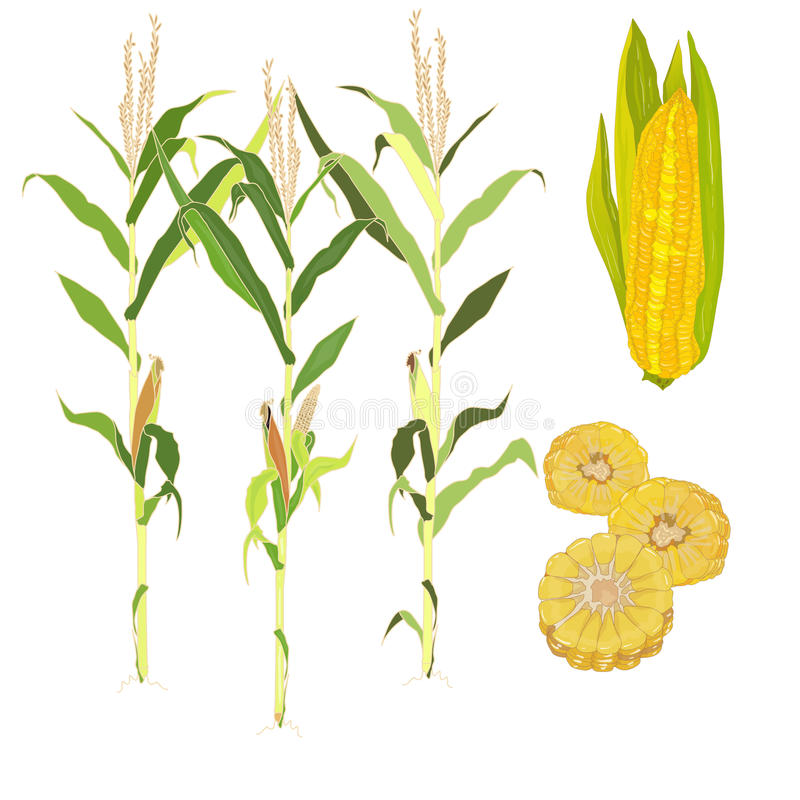 Download Corn vector illustration stock vector. Image of maize - 83715091