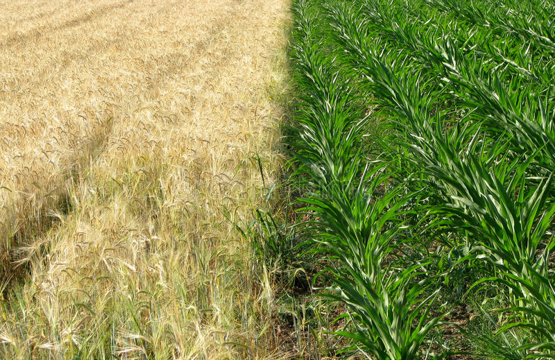 Download Corn And Wheat Fields Stock Photo - Image: 11434040