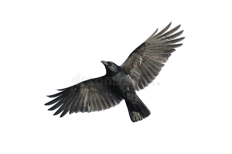 Cornacchia nera in volo fotografia stock libera da diritti