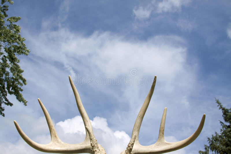 Cornamentas de los ciervos fotografía de archivo