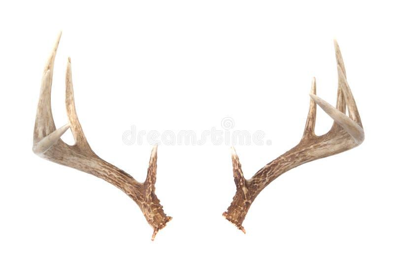 Cornamentas de los ciervos de Whitetail fotos de archivo libres de regalías