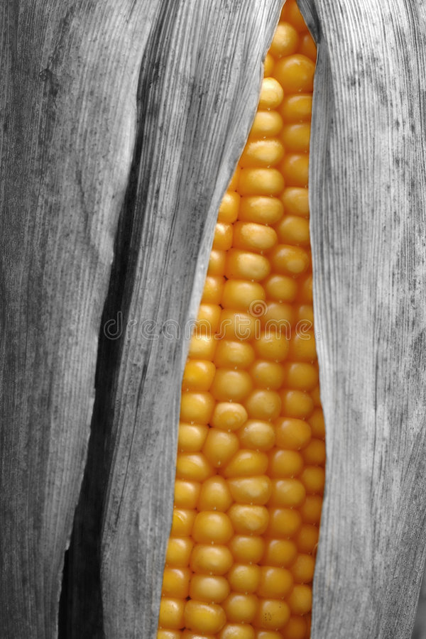 Corncob. Yellow and gray corncob with leaves stock photography