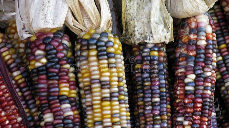 corncobs arkivbilder