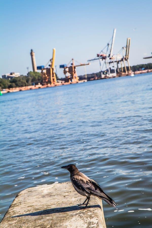 Corneille à capuchon contre la vue du port dans Swinoujscie images stock