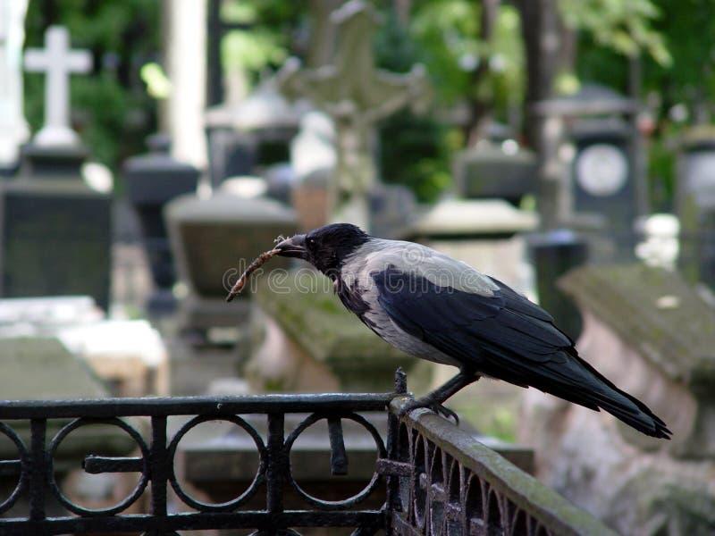 Corneille au cimetière images stock