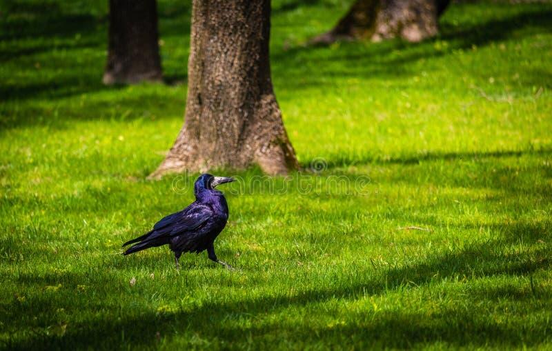 Corneille en parc photo stock