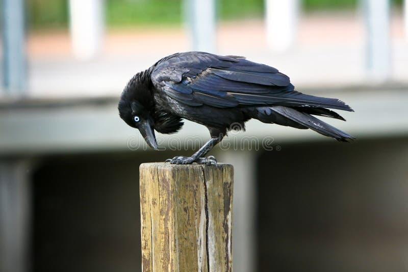 Corneille noire adulte sur le poteau de bois de construction photos libres de droits
