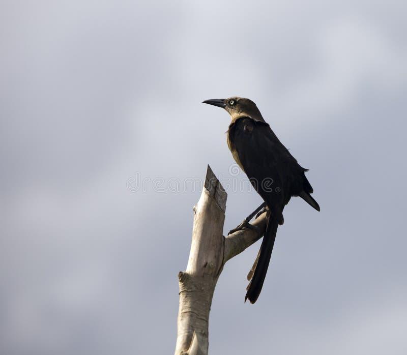 Corneille noire se reposant sur la silhouette d'arbre image libre de droits