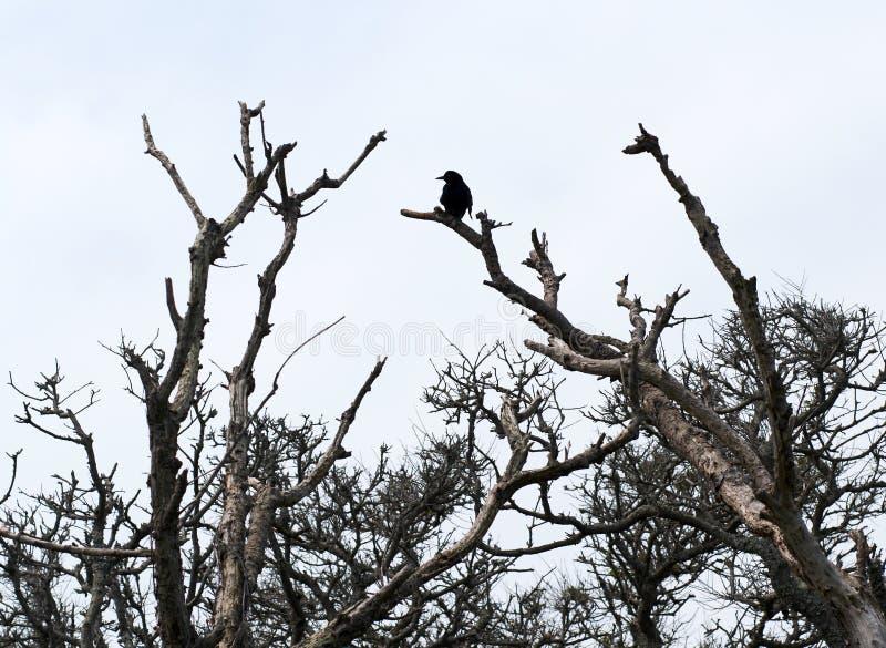 Corneille noire sur le dessus d'un arbre photos libres de droits