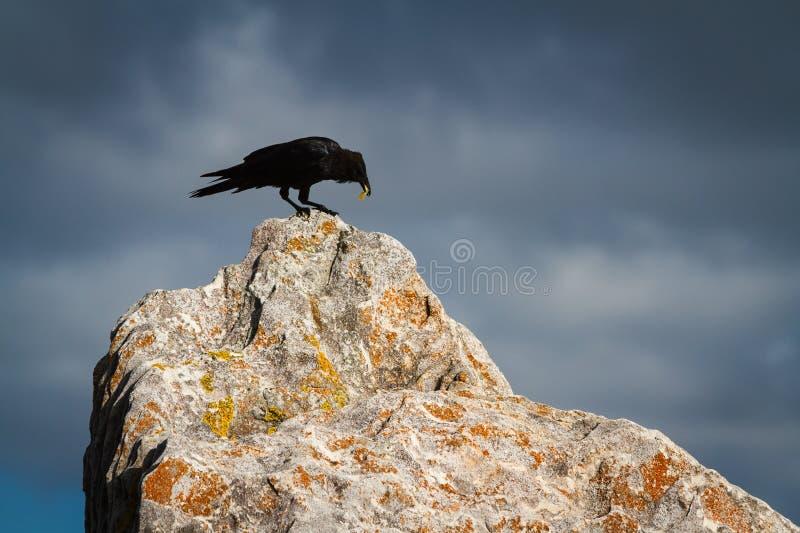 Corneille noire sur une grande roche image stock