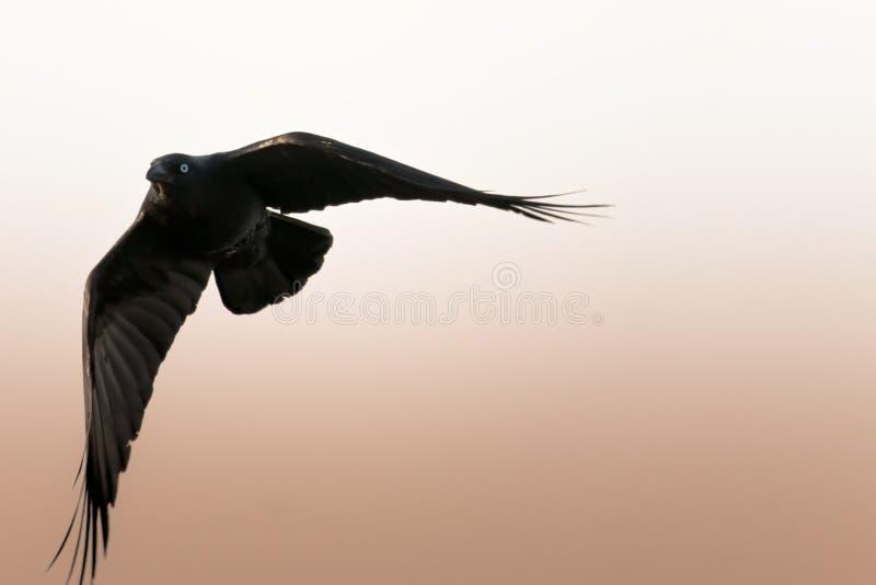 Corneille noire tournant en vol photos stock